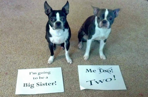 Dogs as big sisters to twins announcement